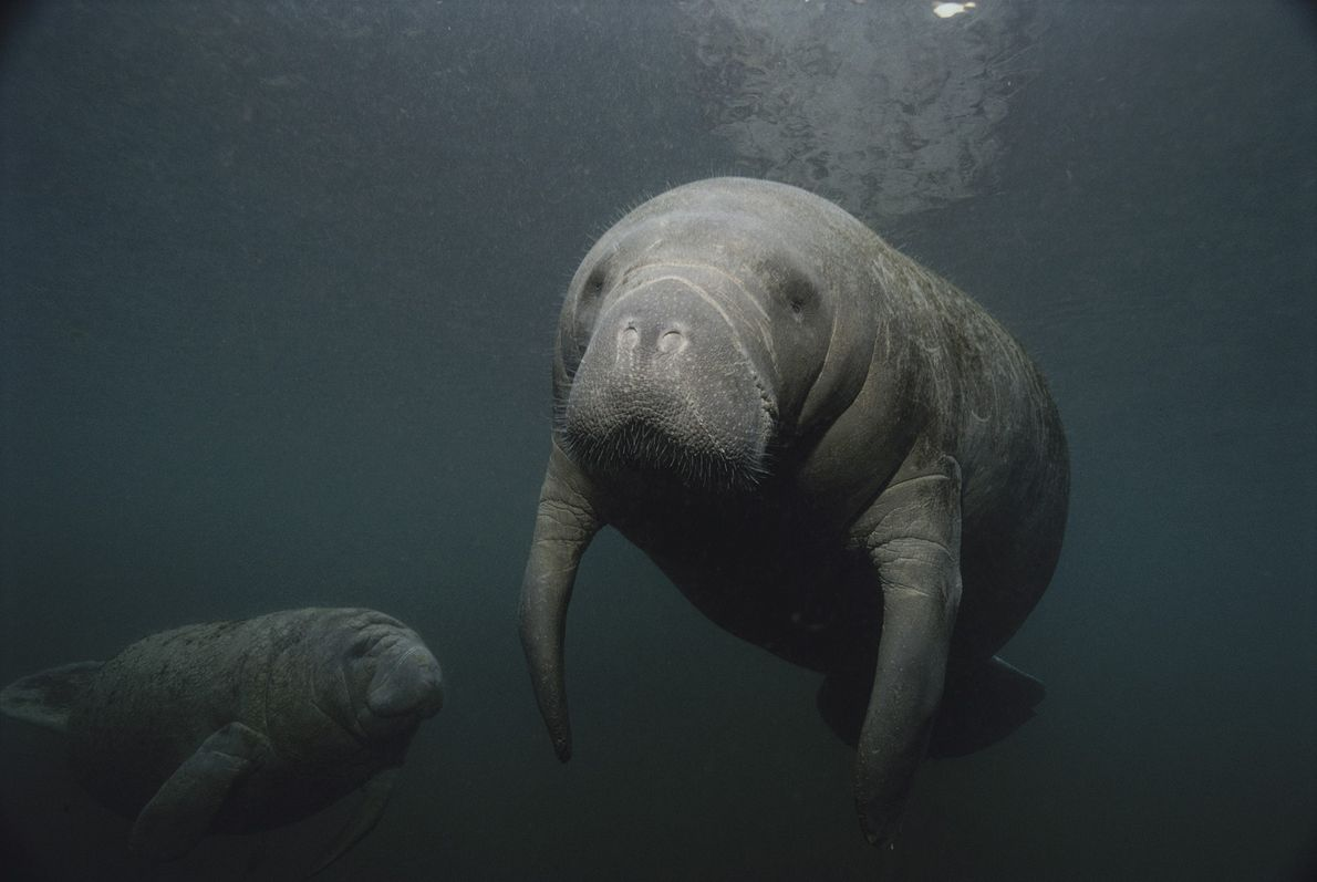 Las ballenas, los delfines, las focas y los manatíes, incluidos estos dos manatíes en el río ...