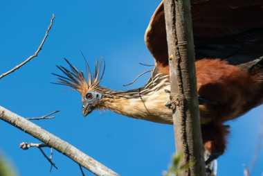 El hoacín (Ophisthocomus hoazin) es un símbolo del medio fluvial, que influyó en la evolución de ...