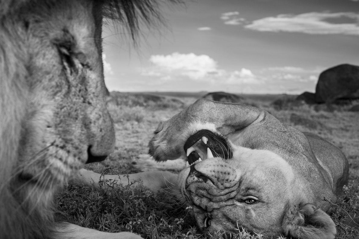 Un león macho adulto, C-Boy y una hembra Vumbi se relajan entre los apareamientos.
