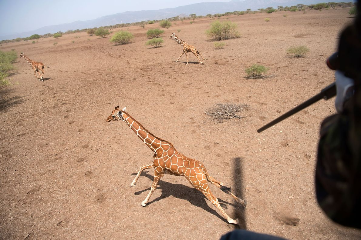 Un investigador dispara un dardo al hombro de la jirafa y un helicóptero la monitorea.
