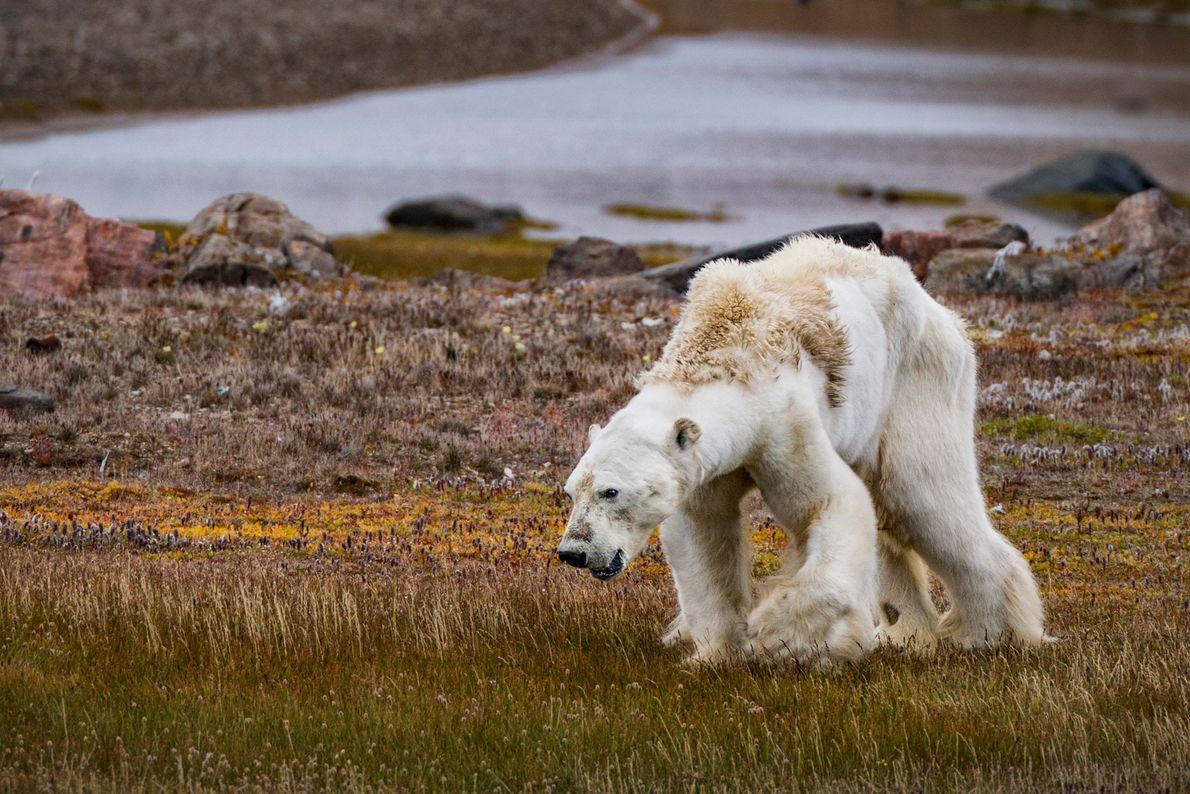 Los músculos débiles del oso polar, que se ven en el norte del Ártico de Canadá, ...