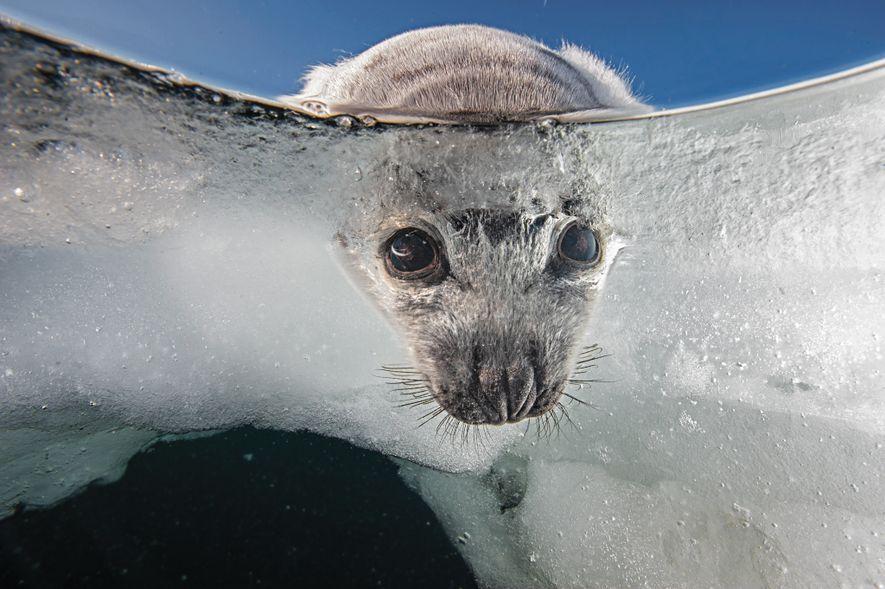 Las crías de foca nacen sobre el hielo y necesitan una plataforma estable para sobrevivir. Año ...