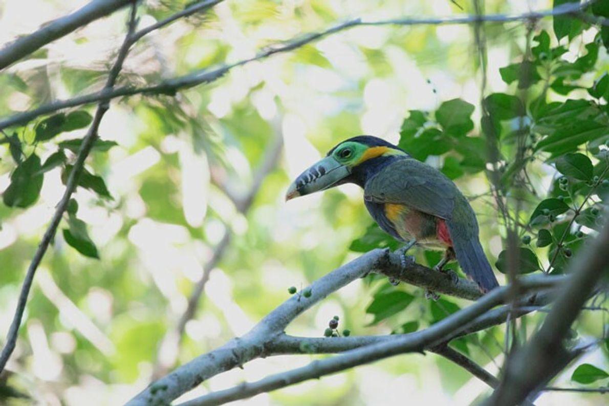 """Arasarí Chico (macho) o Tucaneta, en La Lorenza, Provincia de Misiones. """"Especie amenazada y poco frecuente ..."""