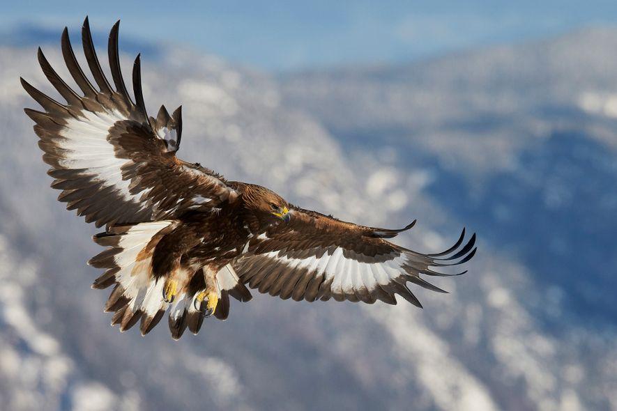 Las águilas reales, como este ejemplar joven de Noruega, prefieren áreas abiertas y montañosas y son ...