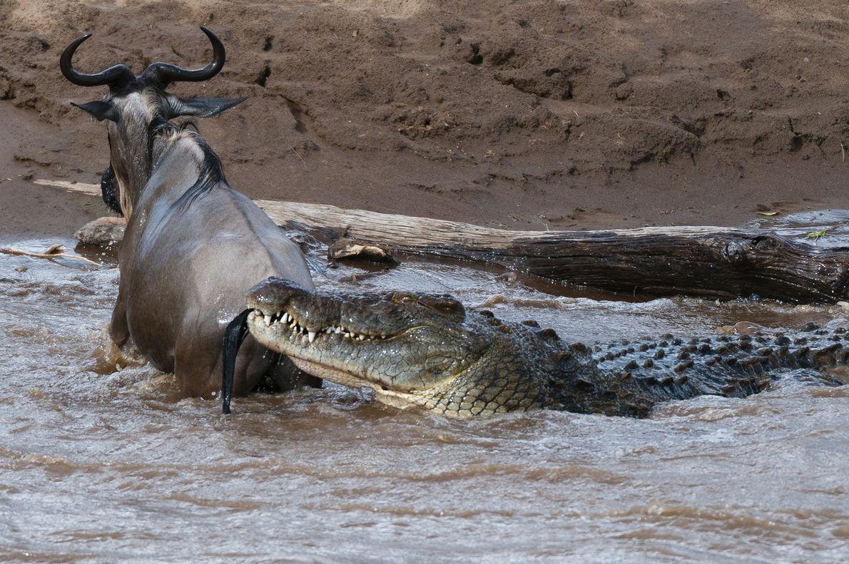 """Un cocodrilo del Nilo ataca a un ñu (""""Connochaetes taurinus"""") que atravesaba el río Mara, Kenia."""