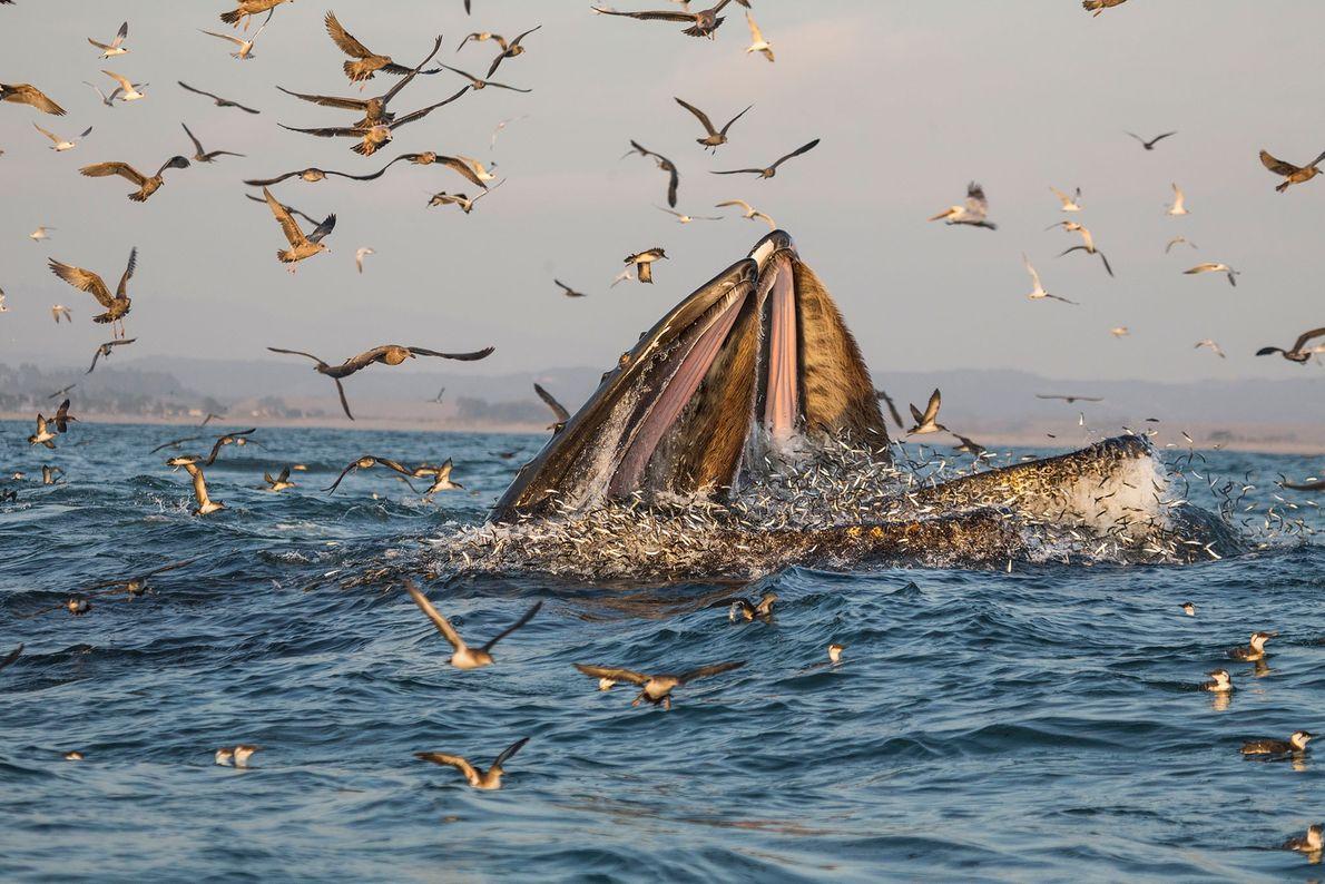 Las ballenas jorobadas se alimentan de peces en las aguas cálidas de la bahía de Monterrey, ...