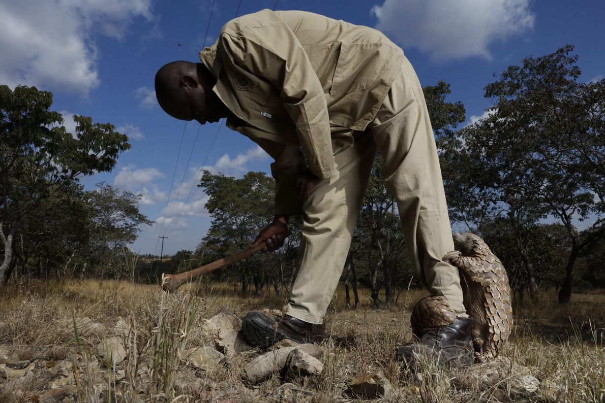 Tamuda quiere que su cuidador le preste atención, mientras este cava la tierra para que el ...
