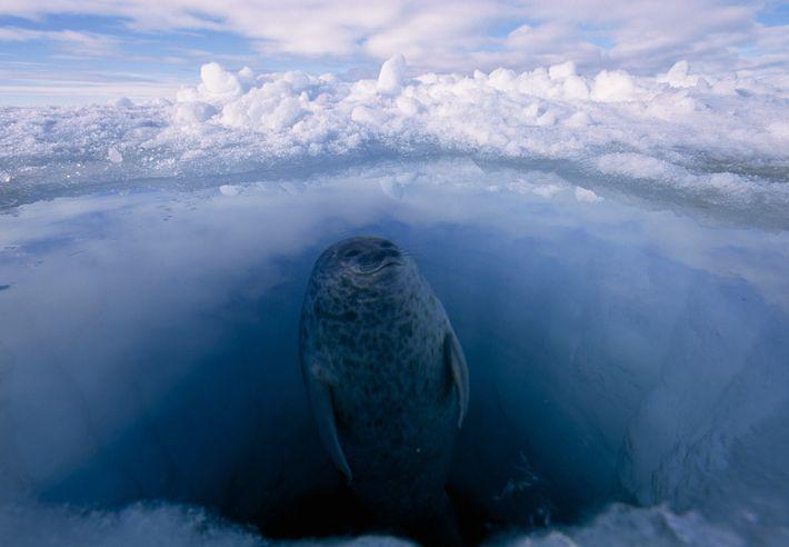 Una foca anillada emerge de un agujero en el hielo marino del Ártico. Las focas anilladas ...