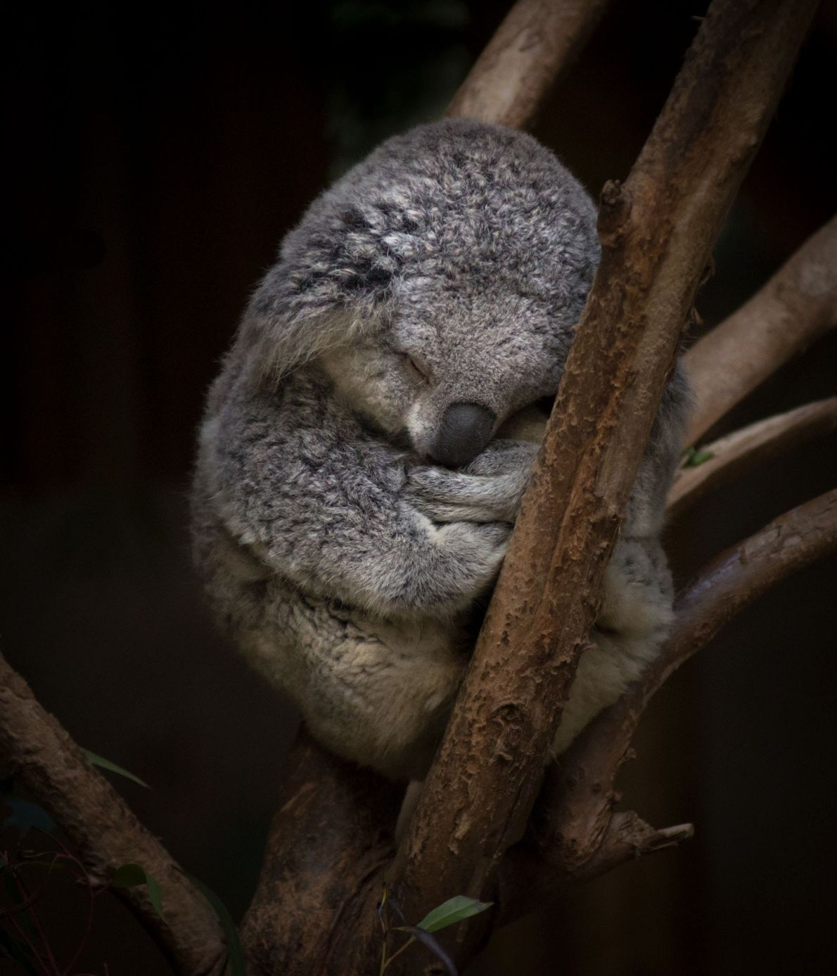 Koala. Los Angeles, California.