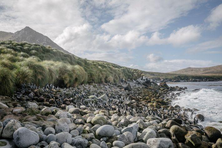 Después de un día de pesca, los pingüinos de Magallanes se deslizan hacia las costas rocosas ...