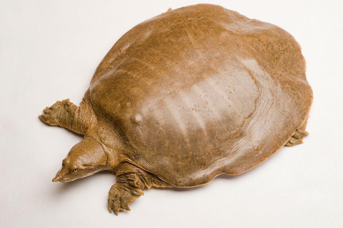 """Según se informa, las tortugas de caparazón blando (Apalone mutica),  tienen un """"potencial reproductivo alto ..."""