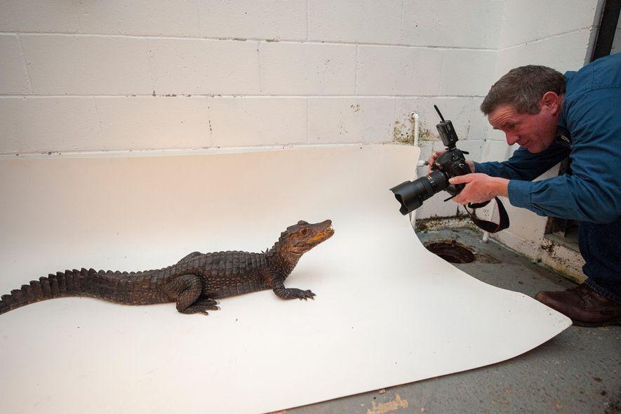 El fotógrafo Joel Sartore fotografía un caimán enano en el Sunset Zoo para Photo Ark de ...