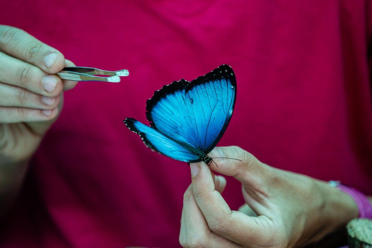 Carolina Velez, entomóloga de la expedición, examina una brillante mariposa morfo azul conocida como Morpho helenor ...