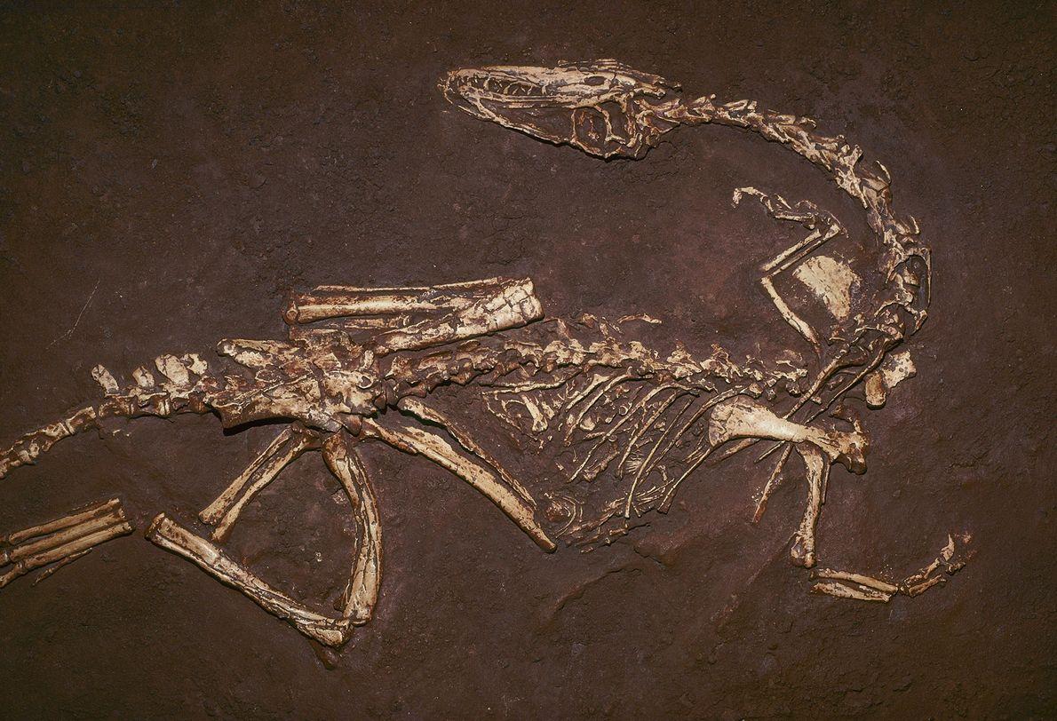 """El carnívoro """"Coelophysis bauri"""", de unos 200 millones de años, fue uno de los primeros dinosaurios ..."""