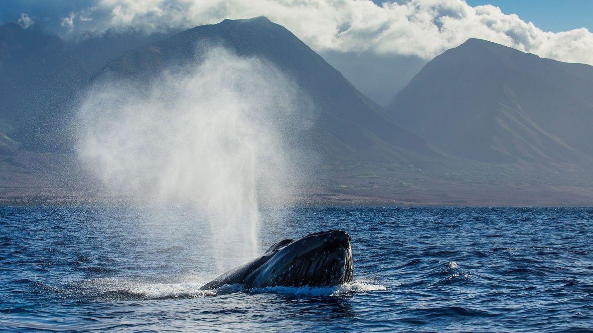 Una ballena jorobada sopla agua en la superficie, en el Santuario Marino Nacional de Ballenas Jorobadas ...
