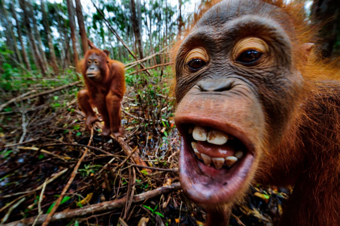 La intimidad de los orangutanes en una turbera en el Centro de Rescate de Orangutanes en ...