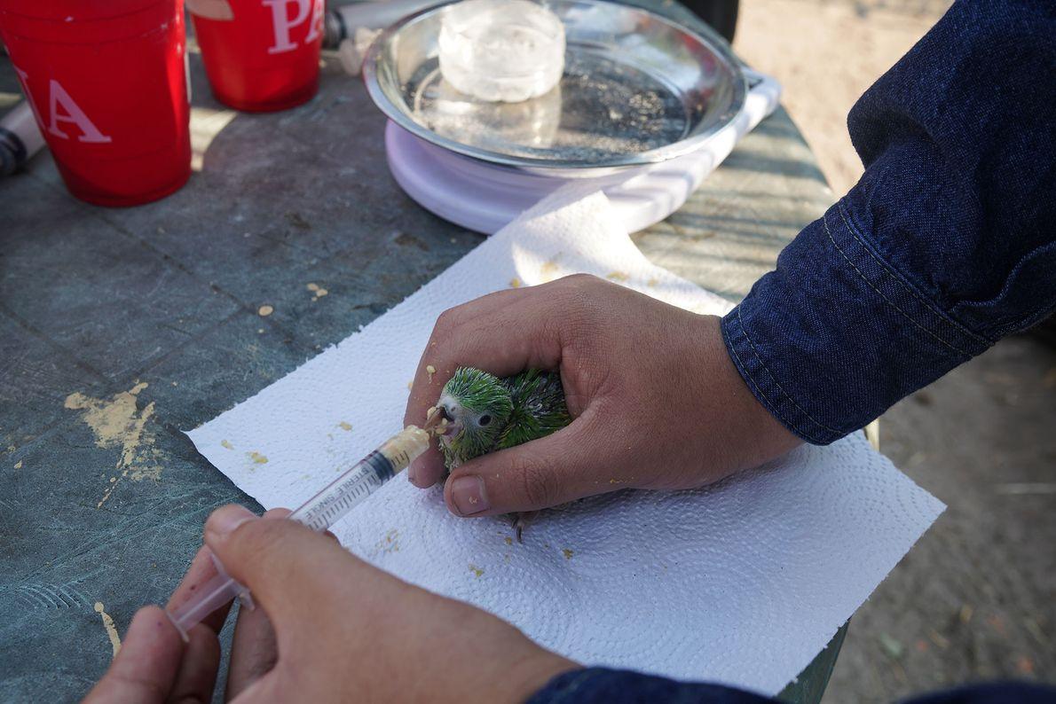 Un voluntario da de comer a un pequeño periquito. Día y noche, los voluntarios de la ...