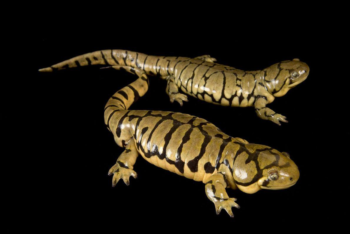 """Una salamandra tigre """"Ambystoma tigrinum melanostictum"""" en el Museo y Acuario Nacional del río Mississippi."""