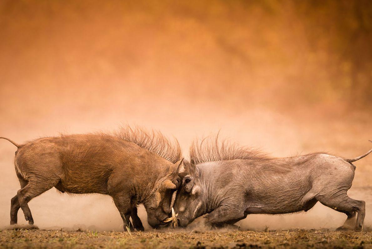 Jabalíes verrugosos forcejean en el parque nacional Kruger de Sudáfrica.