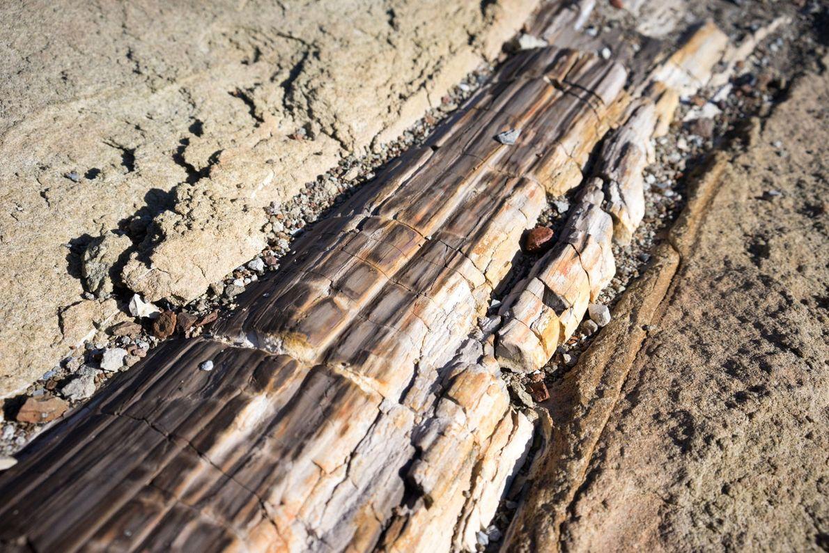 El tronco caído y petrificado se encuentra sepultado en un colchón de arenisca en las laderas ...