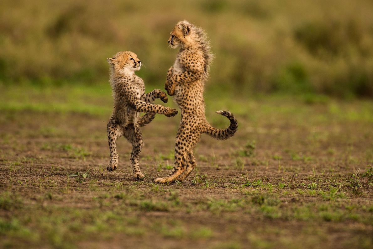 Crías de guepardo jugando en el Parque Nacional del Serengeti, Tanzania.