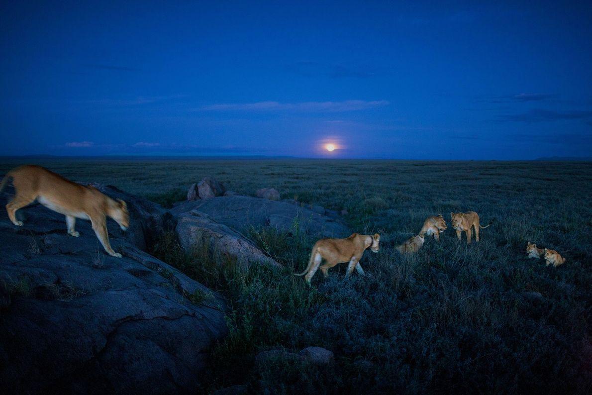 Los miembros de la manada Vumbi emprendieron una caza nocturna.