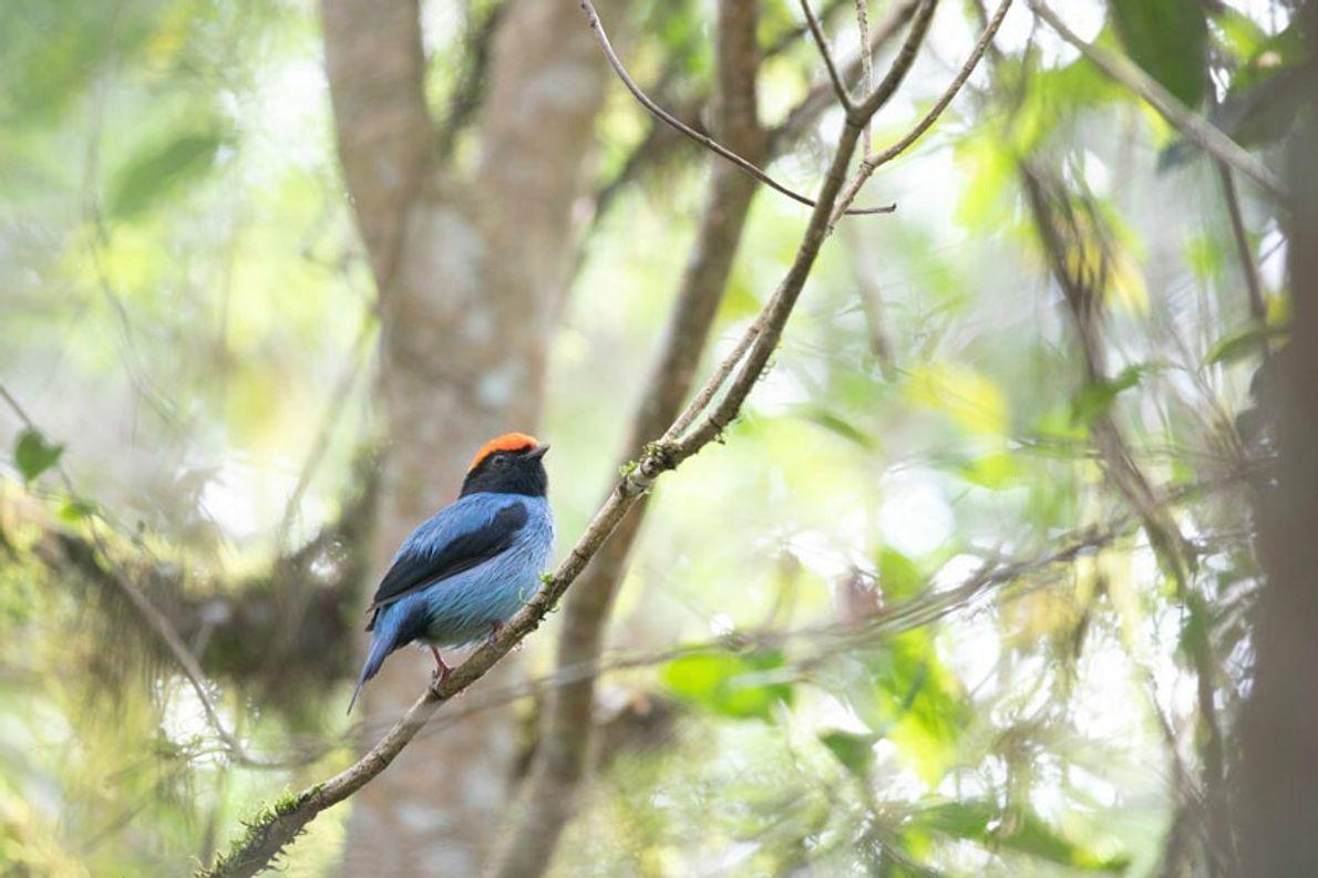"""Bailarín Azul, San Sebastián de la Selva, Misiones. """"La particularidad de este ave es el baile ..."""