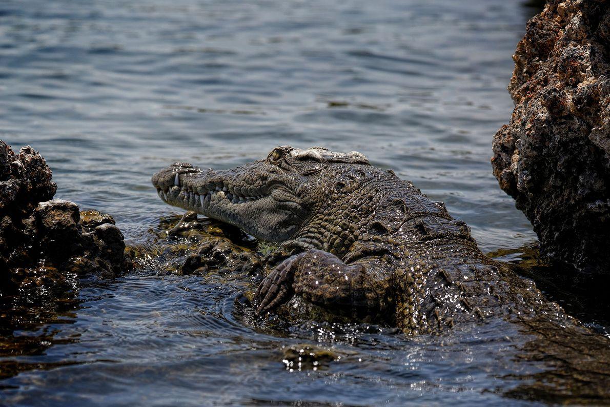Las partes de cocodrilo son muy codiciadas en el mercado negro, sobre todo en los estados ...