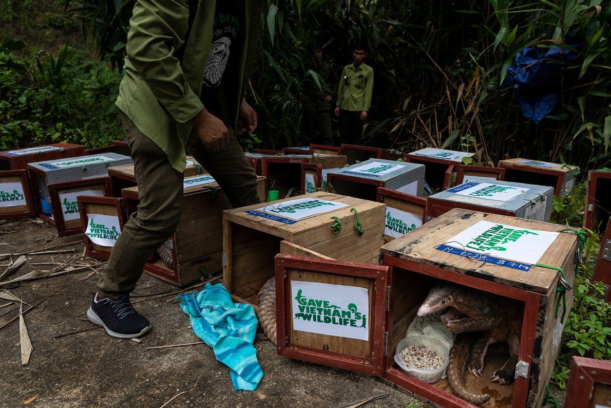 Estos pangolines, rescatados por Save Vietnam's Wildlife, reciben su última comida antes de ser liberados a ...
