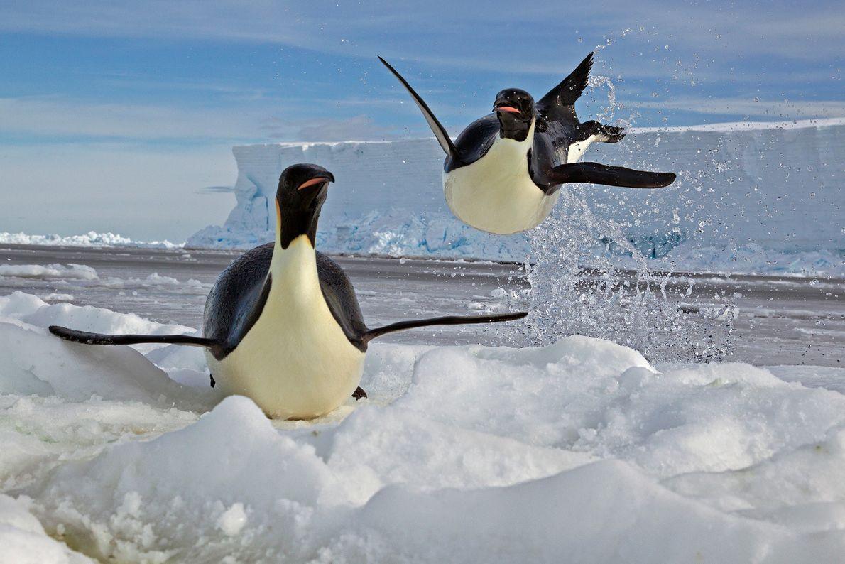 Un pingüino emperador salta sobre un témpano de hielo en el mar de Ross de la ...