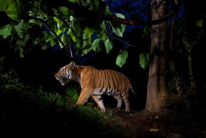 Una cámara trampa grabó a este tigre en un santuario de animales salvajes en Tailandia. En ...
