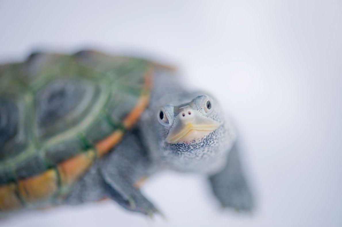 Esta tortuga espalda de diamante (Malaclemys terrapin) proviene de Bermudas.