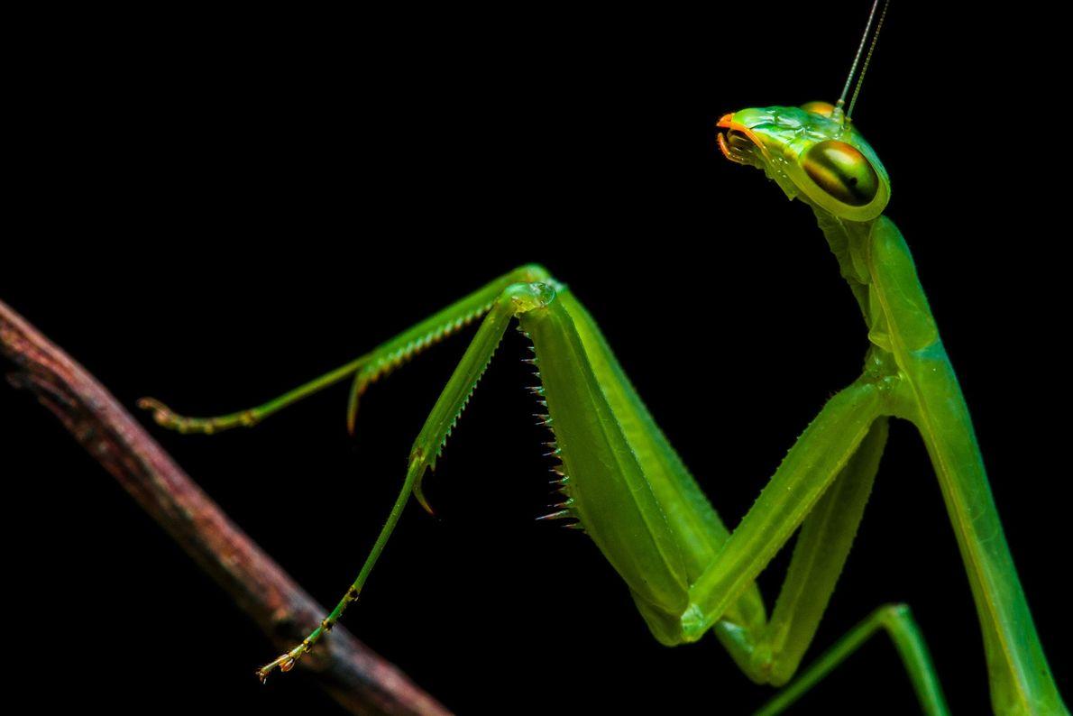 Hembra adulta del género Hicetia, fue la primera mantis encontrada por el equipo de Projeto Mantis, ...