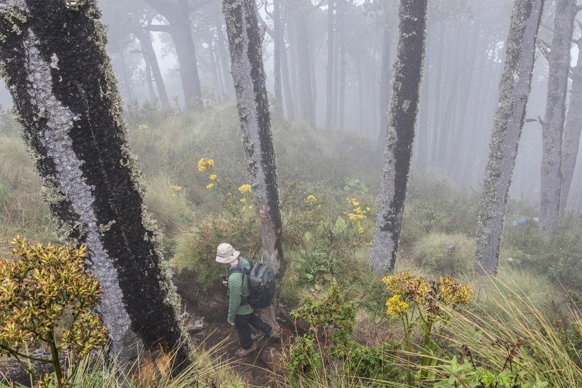 Rick Stanley, uno de los miembros de la expedición, camina a través de un bosque de ...
