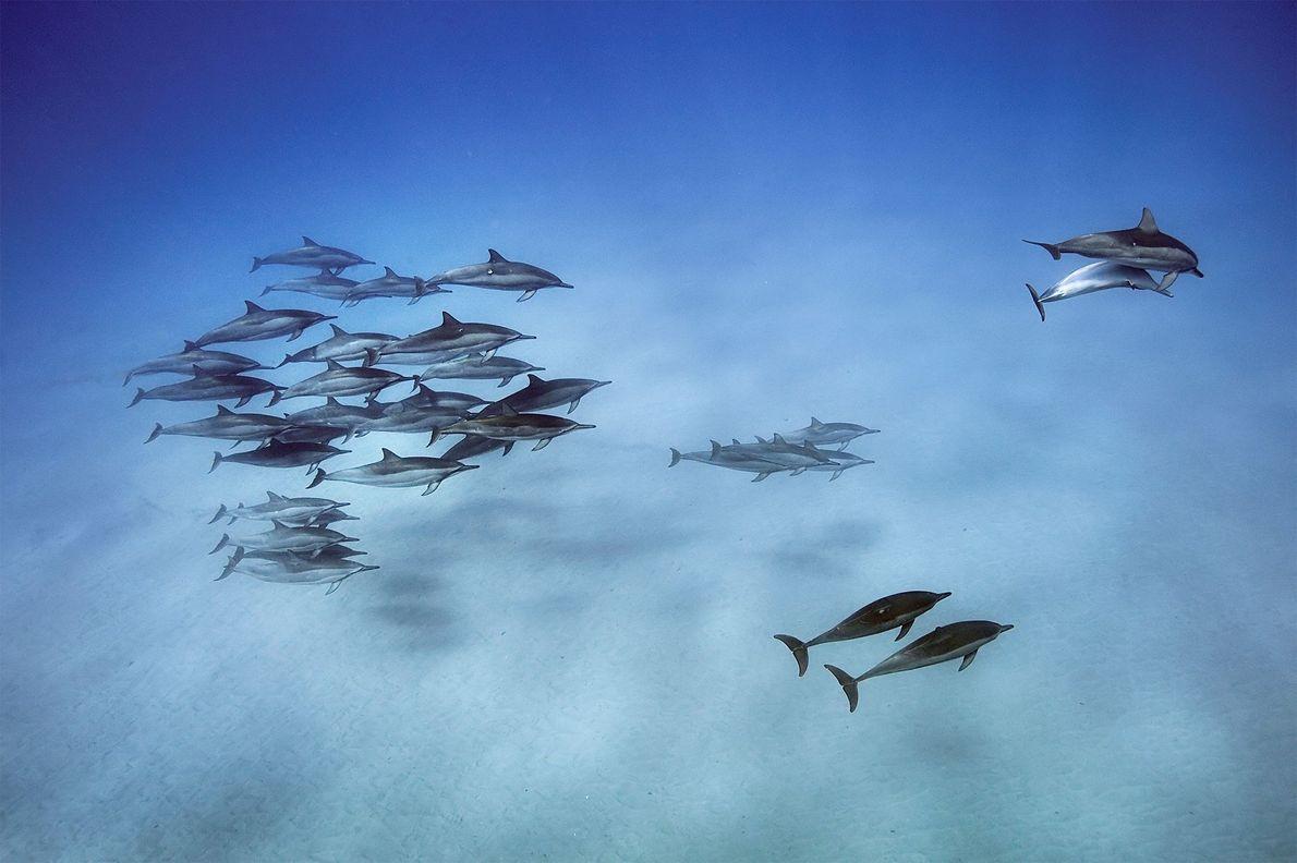 Por la noche, los delfines giradores buscan alimento en las profundas aguas marítimas, y por la ...