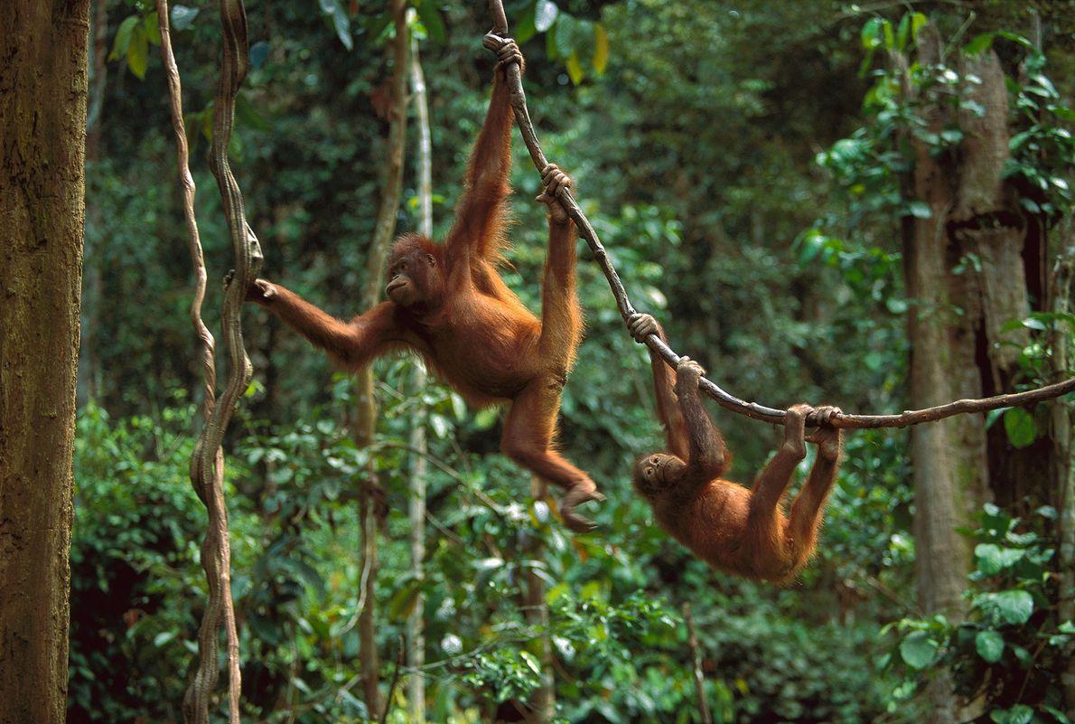 En una selva del Borneo Malayo, dos orangutanes usan hojas de enredadera para moverse de árbol ...