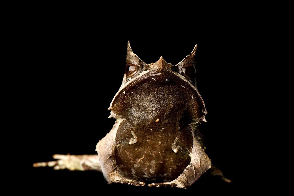 """Una rana cornuda """"Megophrys nasuta""""."""