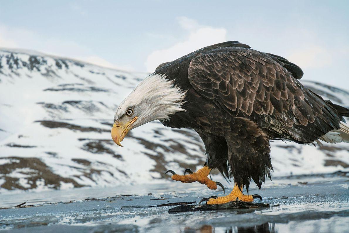 Un águila calva camina sobre un lago congelado. Islas Aleutianas, Alaska, Estados Unidos.