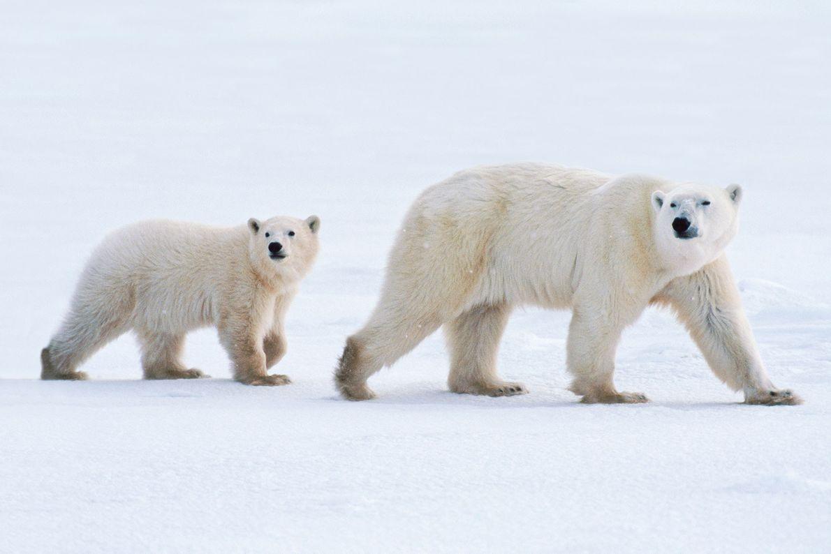 Una madre de oso polar y su cría en la Bahía de Hudson, Canadá.