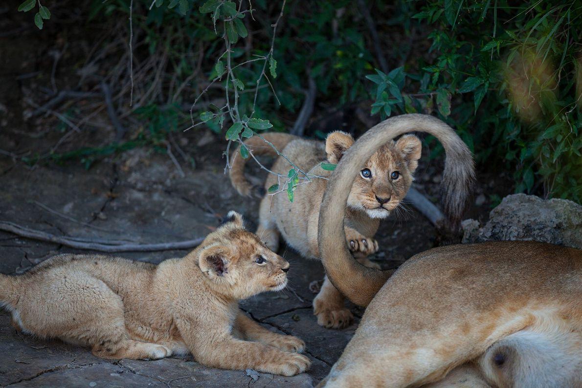 Un par de cachorros de león de la manada Barafu juegan con la cola de su ...