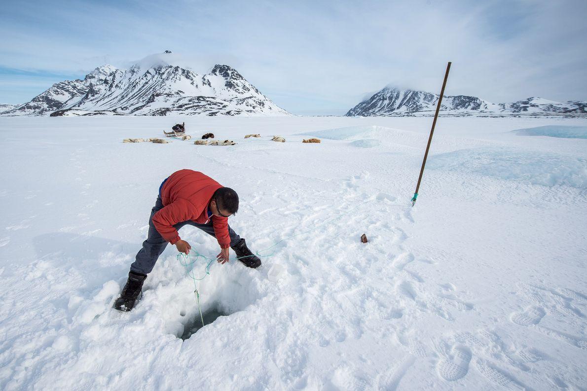 Un inuit caza en Groenlandia oriental. La cultura inuit depende de la caza para comer durante ...