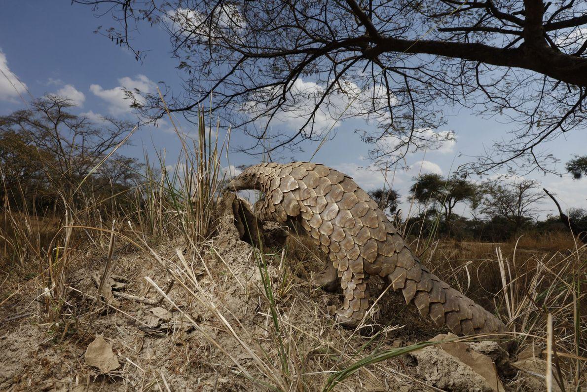 Un pangolín se sube a un montículo de tierra para averiguar si está lleno de hormigas.
