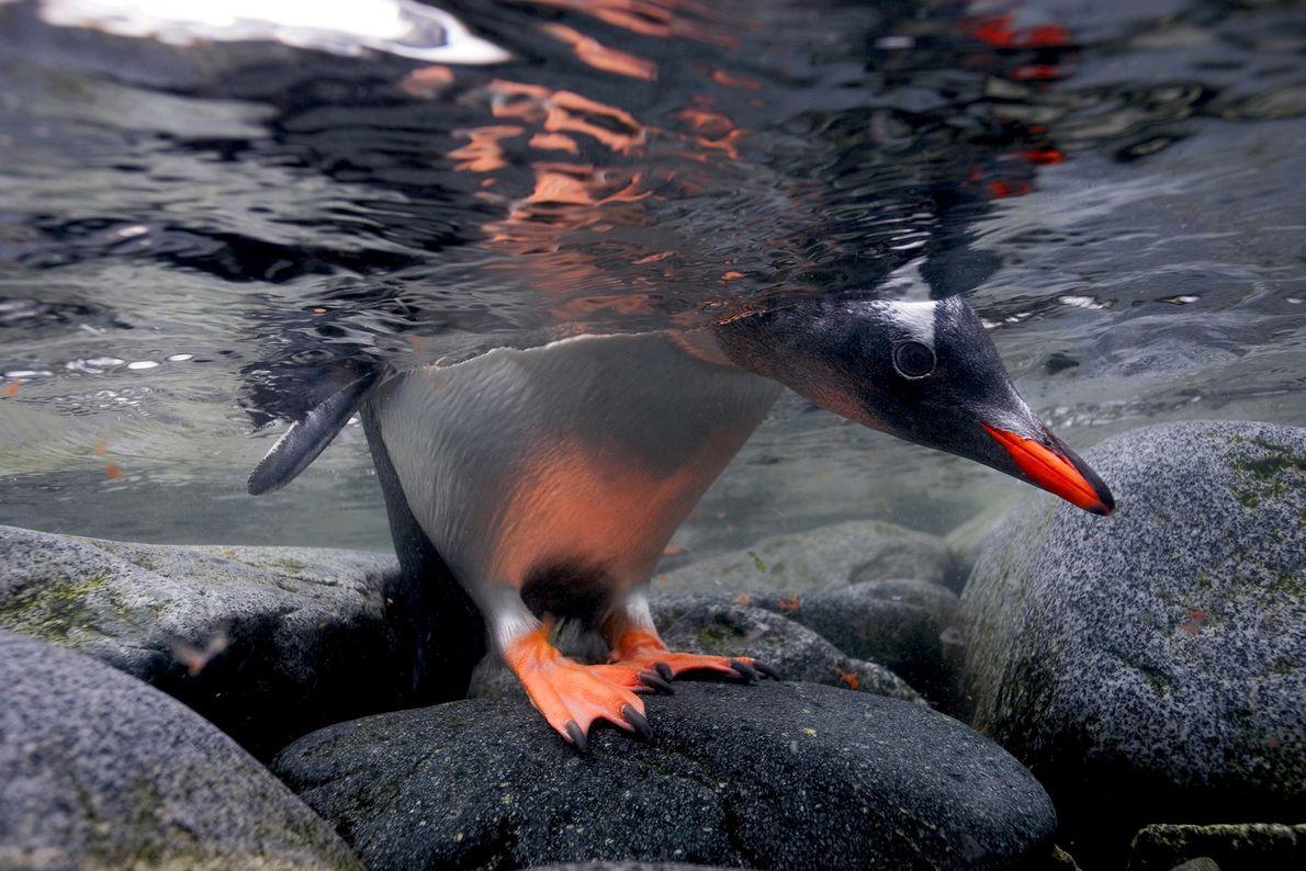 Un pingüino gentoo espía por debajo del agua antes de zambullirse. A diferencia de otras especies ...