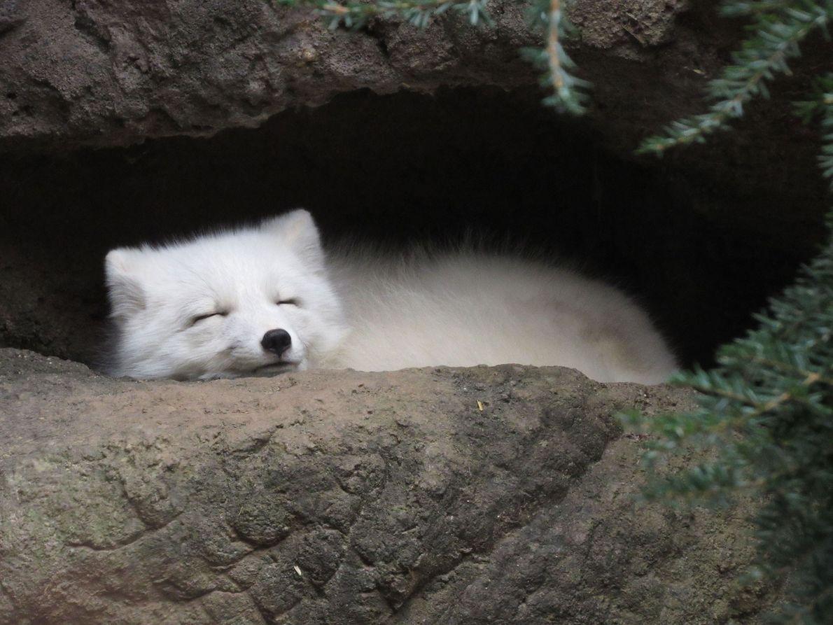 Un zorro polar duerme en su madriguera.