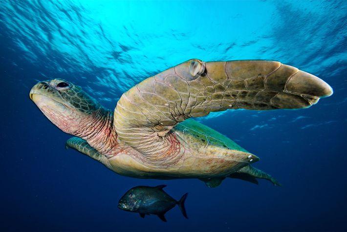 Una seriola nada bajo la sombra de una gran tortuga verde en el atolón norte del ...