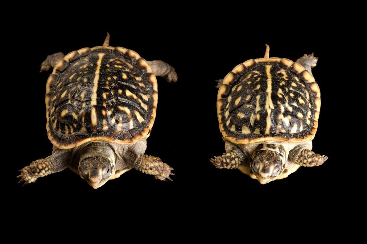 Al momento de nacer, estas crías de tortuga de caja ornata ornata (Terrapene ornata) solo medían ...