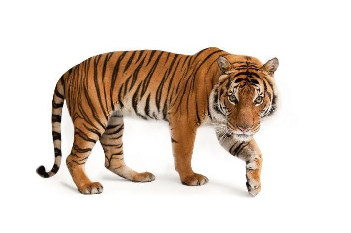Tigre malayo, en peligro crítico