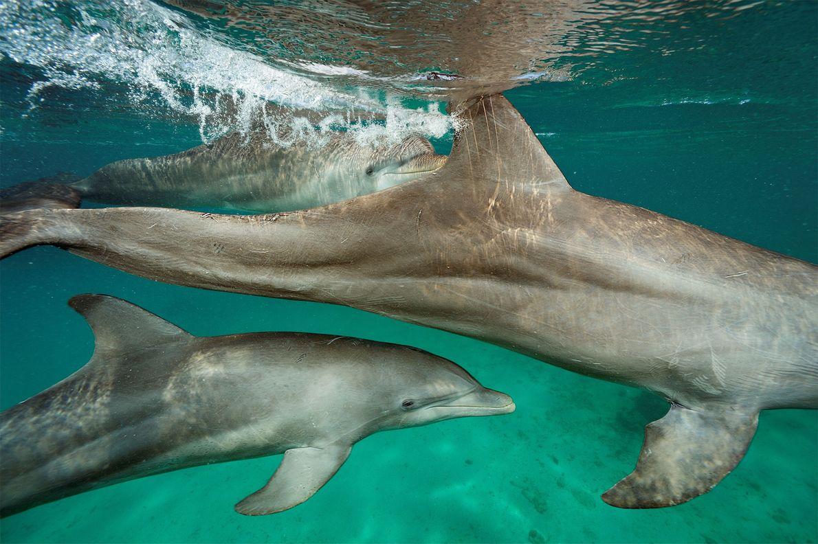 Stan Kuczaj, científico de la Universidad de Mississipi, analiza cómo 30 delfines en semicautiverio en Honduras ...