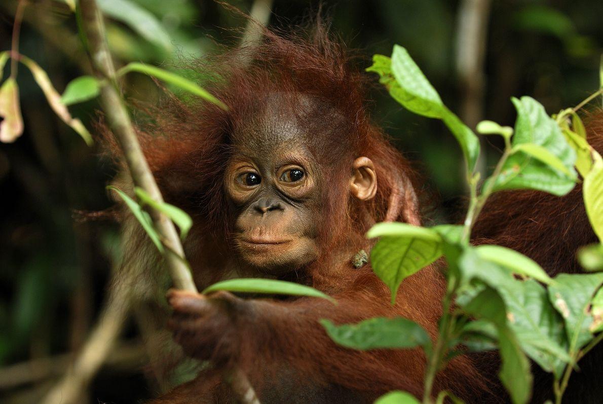 Un orangután bebé se posa sobre una rama en el Campamento Leakey. Los orangutanes dan de ...