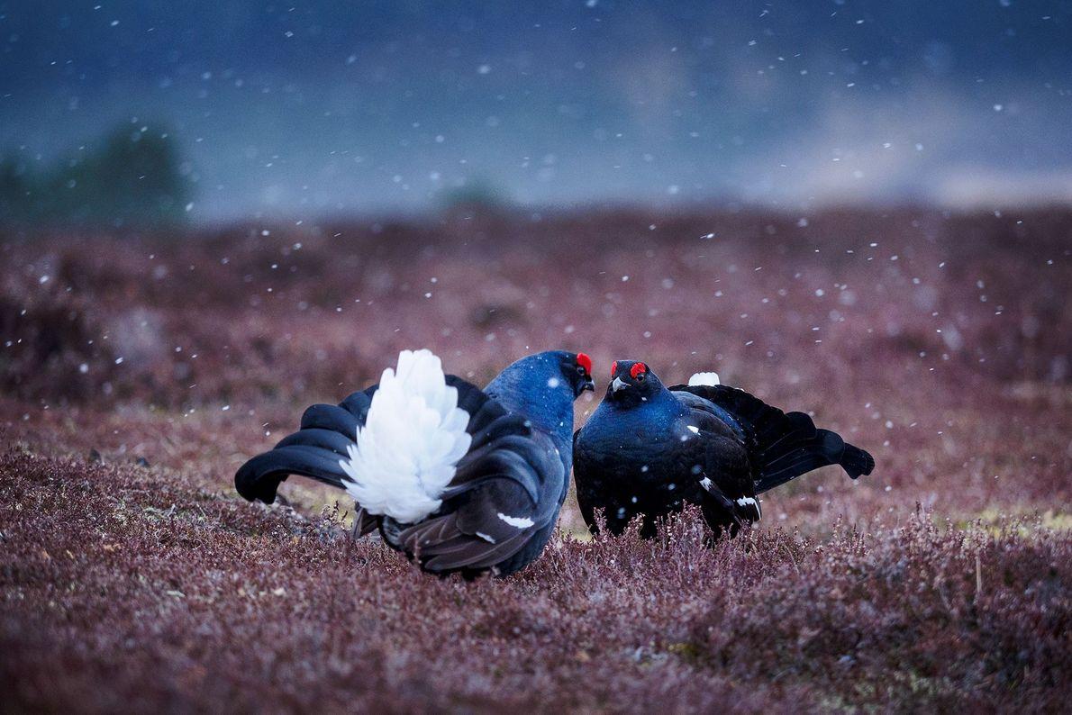 Dos gallos lira realizan un ritual de apareamiento. Escocia.